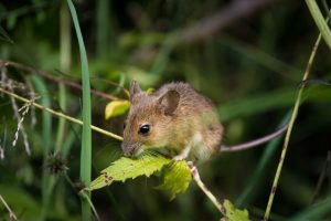 house mouse in surrey property