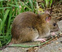 a rat outdoors in surrey