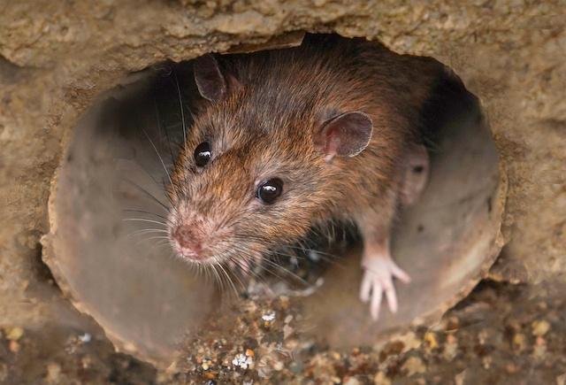 rat control in surrey