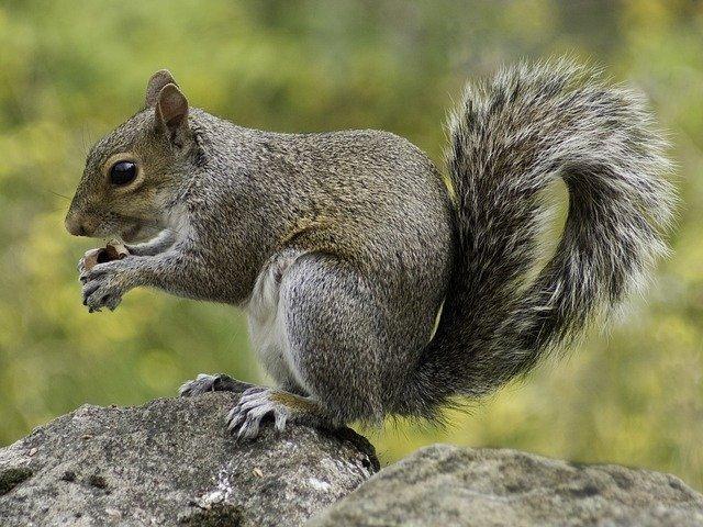 squirrel control in surrey