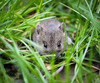 mouse in surrey garden