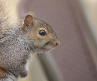 dangers of having squirrels in the loft